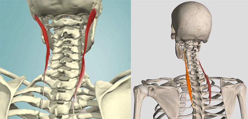 a gerinc fájdalma a nyak területén ízületeket szakít